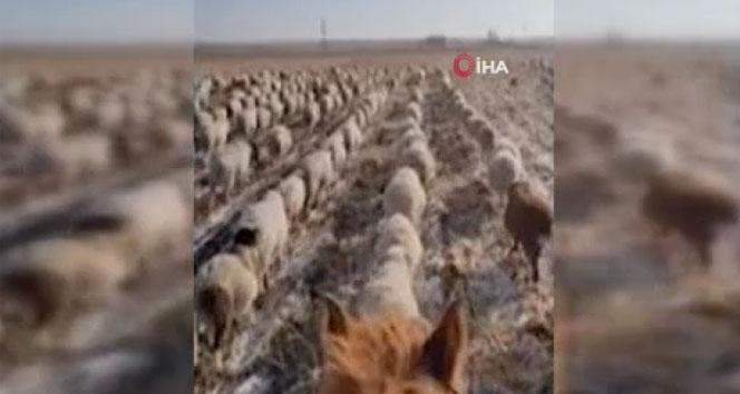 Çinli çobandan şaşırtan eğitim