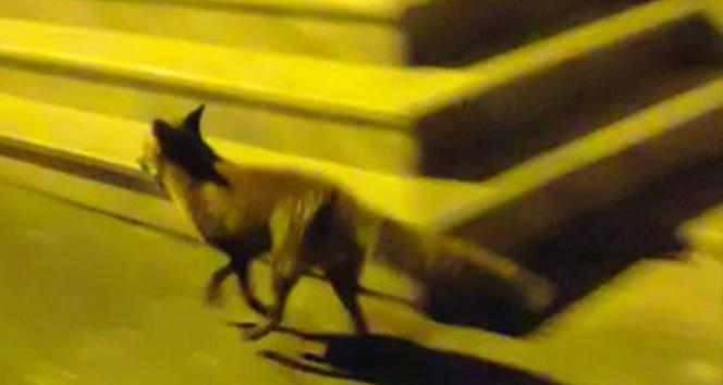 Sokaklarda tilki gören vatandaşlar şaşkına döndü