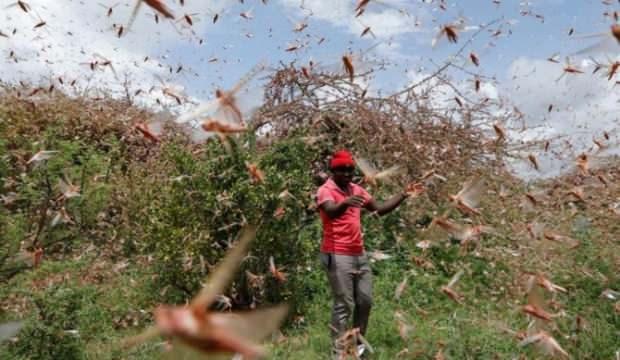 Tehlike büyüyor: Çöl çekirgeleri Komşu'da ekinlere saldırdı!