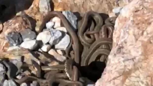 Yüksekova'da görülen çok sayıdaki yılan korkuttu