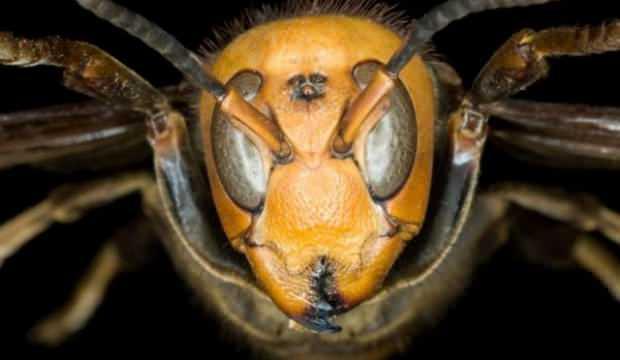 ABD'de ilk kez tespit edildi! Şimdi de Vespa Mandarinia ortaya çıktı