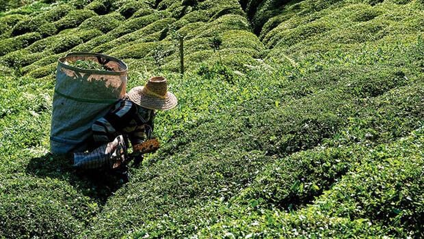 Çay üreticileri nasıl izin belgesi alacak? Bakanlık detayları açıkladı
