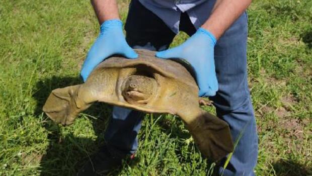 Diyarbakır'da jandarma nesli tükenmekte olan 'Fırat kaplumbağası' buldu