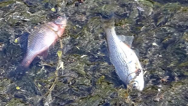 Düzce'de korkutan görüntü! Ölü balıklar…