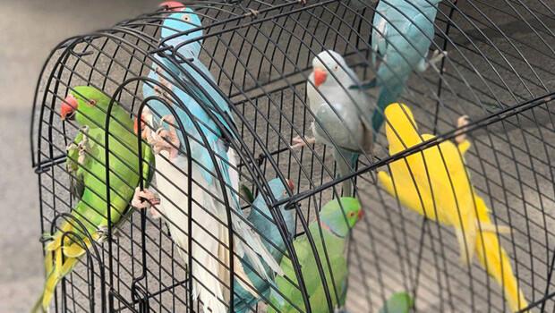 Kartal'da kaçak getirilen Jako ve Pakistan papağanları ele geçirildi