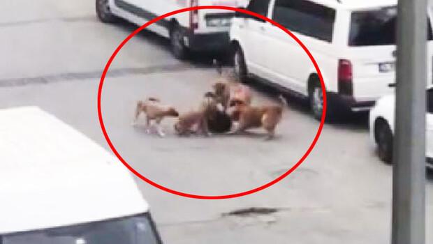 Sokak ortasında korkunç görüntü! 5 köpek işe giden kadına saldırdı