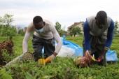 Rize'de Afrikalı işçiler, bu yıl da çay topluyor